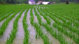 昼夜温度差が登熟を増す北の水田